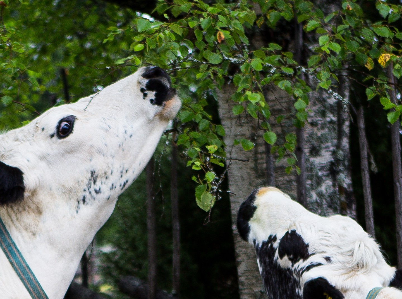 OREMÅL -en dialekt från Dalarna
